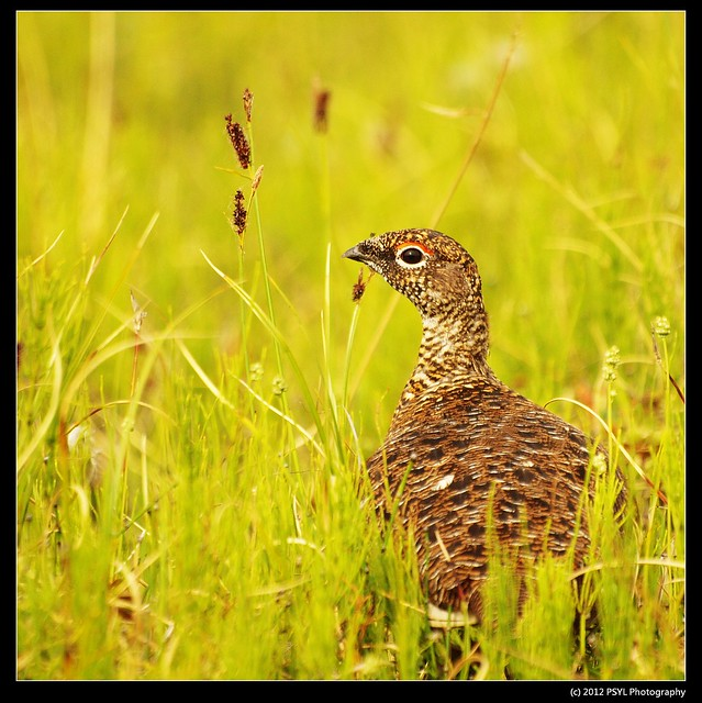 Rock Ptarmigan (Lagopus muta) - summer plumage