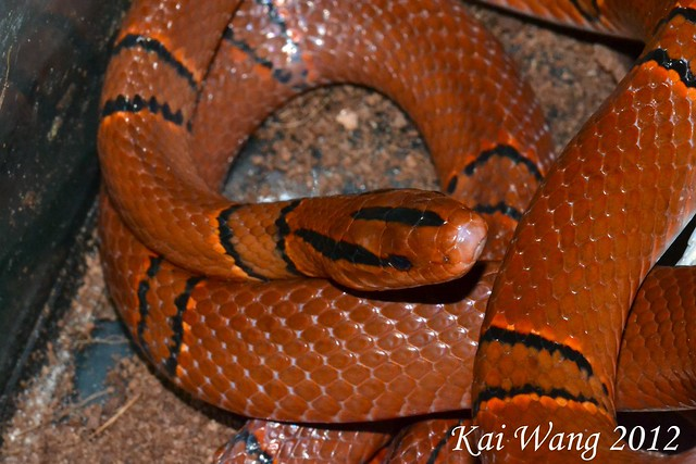 Field Herp Forum • View topic - Few Snakes of Yunnan, China