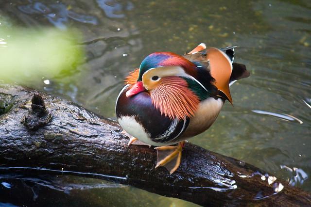 Mandarin duck, Bronx Zoo
