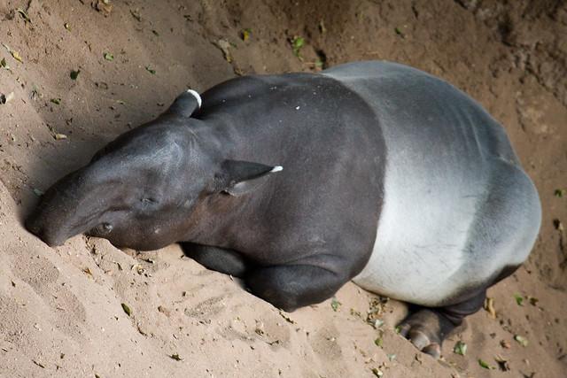 Tapir, Bronx Zoo