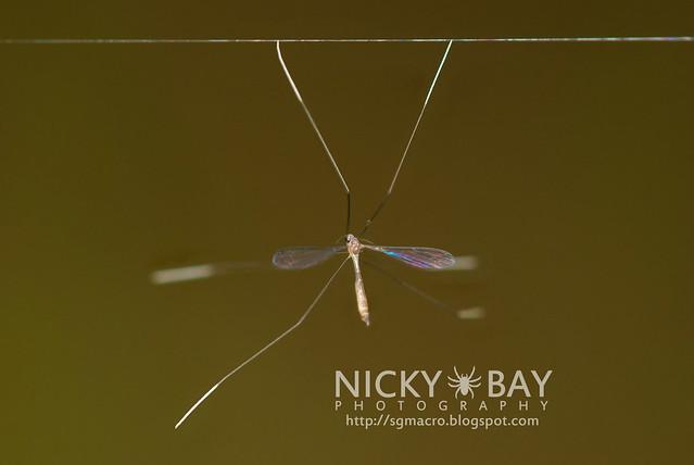 Phantom Crane Fly? (Ptychopteridae) - DSC_9111