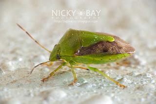 Stink Bug (Pentatomidae) - DSC_8812