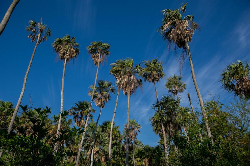 Cientos de palmeras adornan los senderos de la reserva, por donde se realizan recorridos y se pueden avistar muchas especies de aves y animales. (Tetsu Espósito)