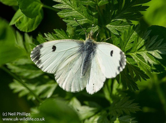 Female orange tip butterfly courting 3