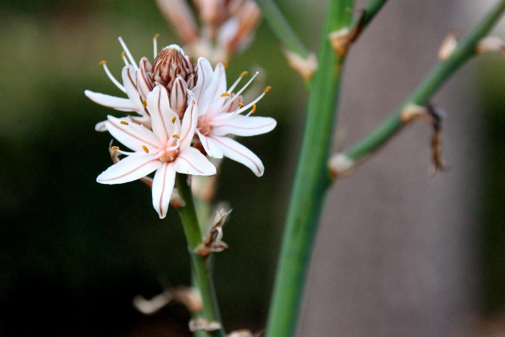 asphodelus ramosus