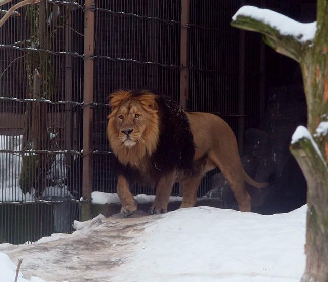 A Snow Lion