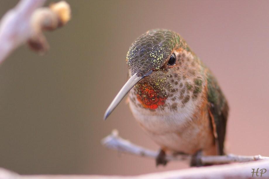 Allen's Hummingbird 011513-2