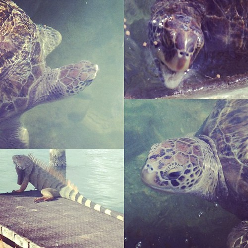 From the Turtle Hospital #thebigchill13 #turtle #seaturtle #iguana