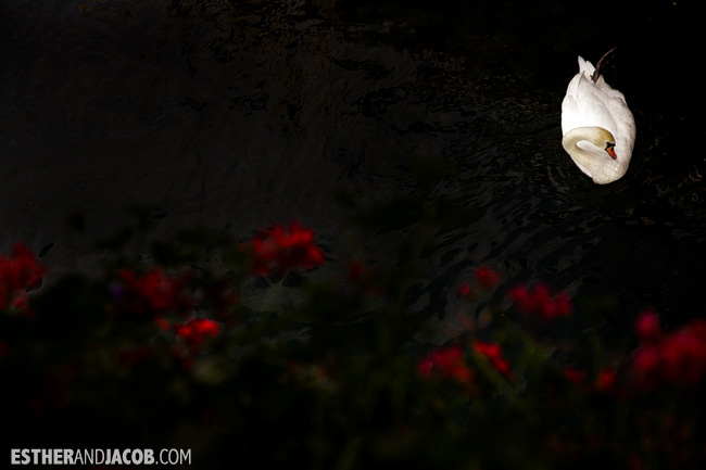 Swan in Lucerne / Luzern Switzerland | Travel Photography