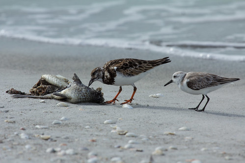 Ruddy Turnstone eating a very dead fish, with a Sanderling sneaking in for little bits.