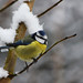 Blue Tit (Cyanistes caeruleus) 'Explored' :)