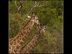 Gentle Giraffe...