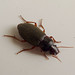 Small photo of Harpalus sp. Carabidae
