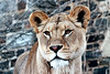 La Lioness