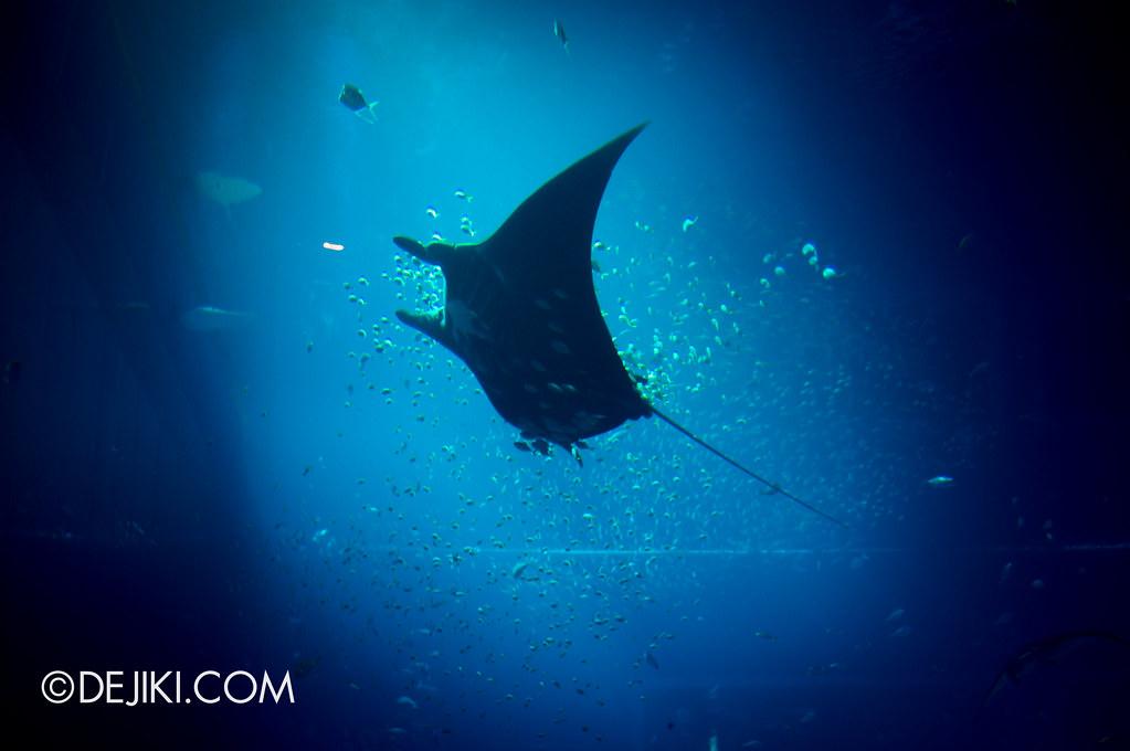 S.E.A. Aquarium - Giant Manta Ray
