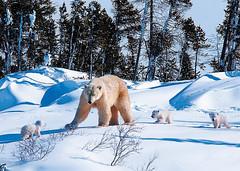 媽媽帶著小熊了解雪地生活
