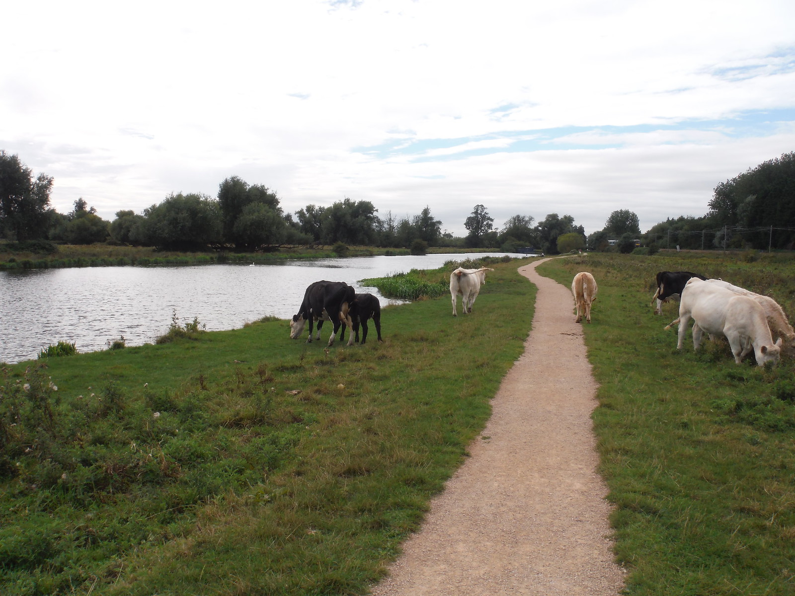 Cows, River Great Ouse Meadows SWC Walk 118 Ely Circular (Ely Extension)
