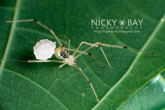 Comb-footed Spider (Theridiidae) - DSC_1303