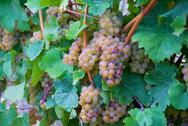 Bully Hill grapes