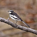 Small photo of African Pied Wagtail (Motacilla aguimp)