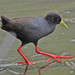 Small photo of Black Crake (Amaurornis flavirostra)