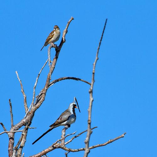 Madagascar Lark ? (Mirafra hova) and Namaqua Dove (Oena capensis aliena)