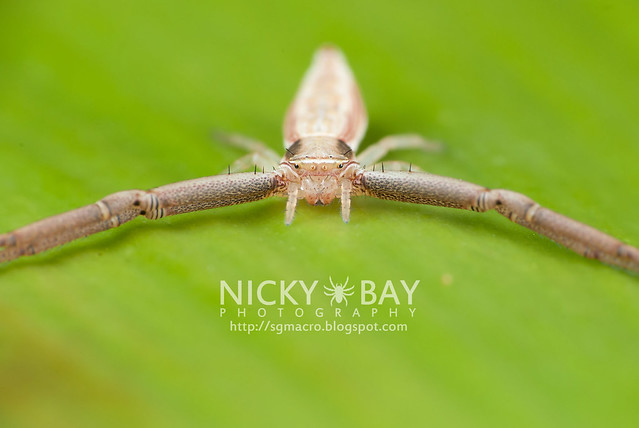 Crab Spider (Thomisidae) - DSC_6696