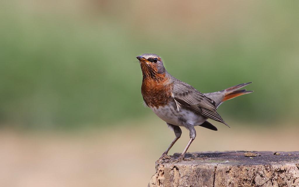 迷鳥     赤頸鶇