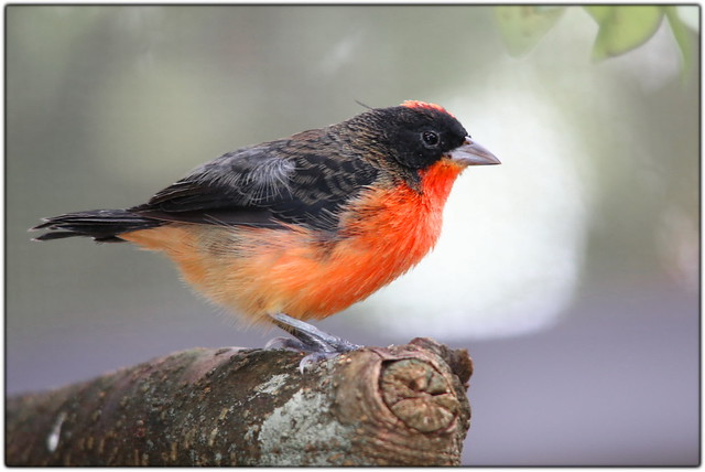 Fat little bird