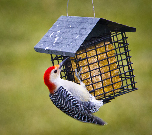 Red-Bellied Woodpecker by Ricky L. Jones Photography