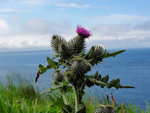 Thistle by the Sea