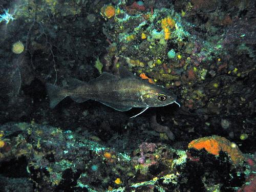 Tacaud commun de Plongez-Pépère, sur Flickr