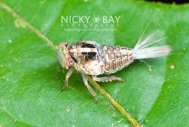Planthopper nymph (Fulgoromoropha) - DSC_4356