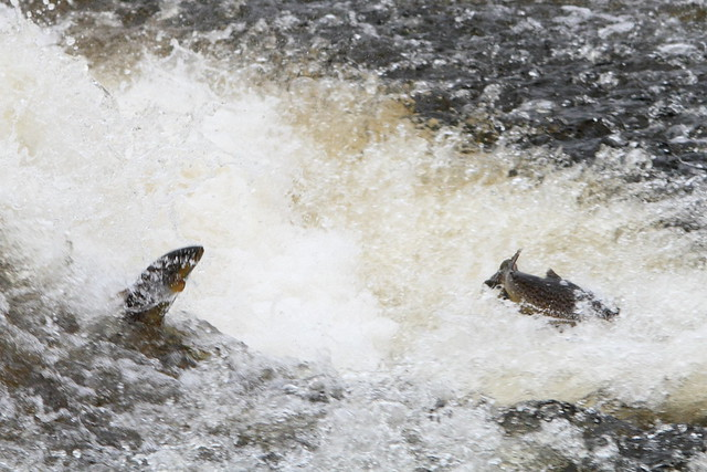 Trout trying to leap the weir