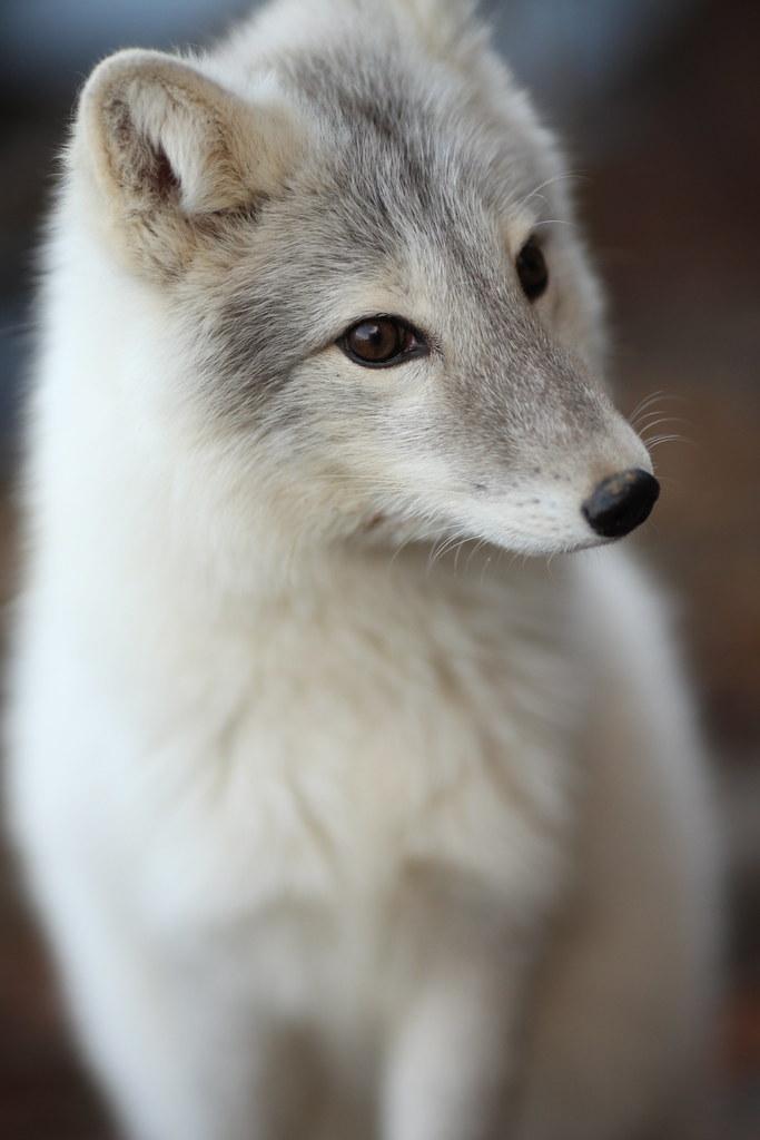 Roxy, the Gray Fox, near Bloomington, Illinois