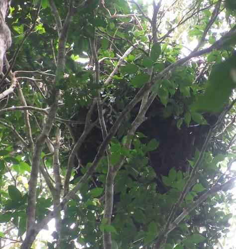 bonobo nest_Boni