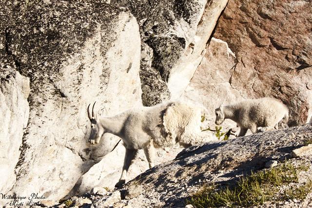 goats11