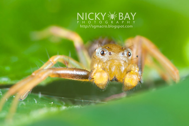 Crab Spider (Thomisidae) - DSC_2133