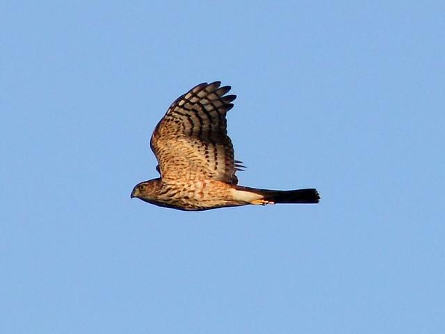 Coopers Hawk 2-20121022