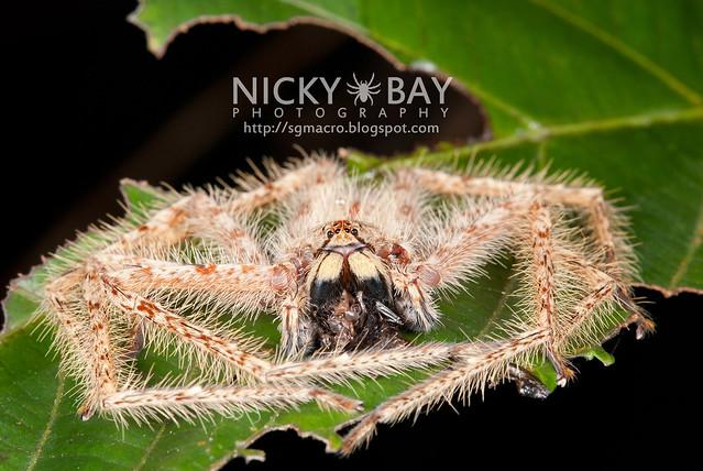 Huntsman Spider (Sparassidae) - DSC_0539