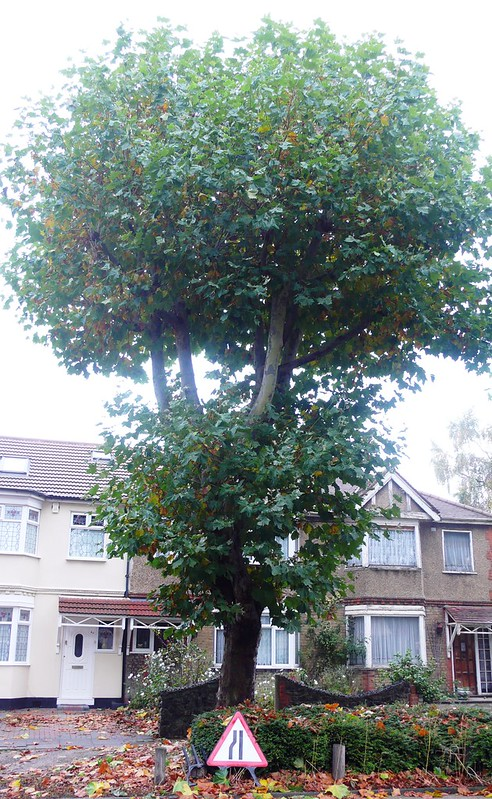 Tree in Rush Green Road