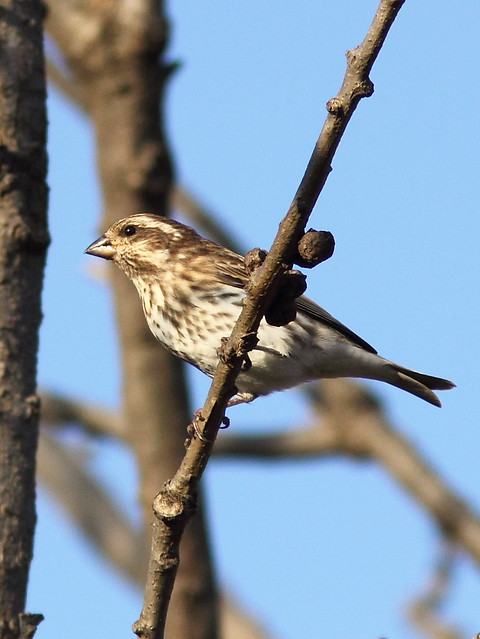 Purple Finch 5-20121025