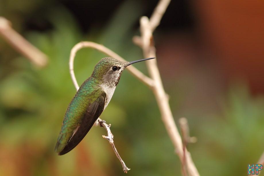 Anna's Hummingbird 102512-2