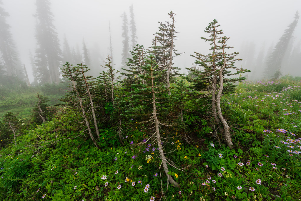 Pines in the Clouds—Mount Rainier National Park