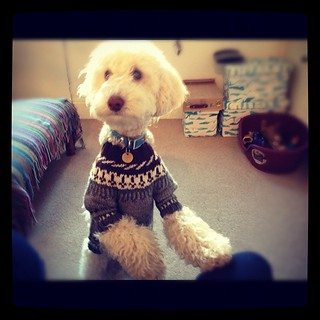 Teds winter jumper #poodle
