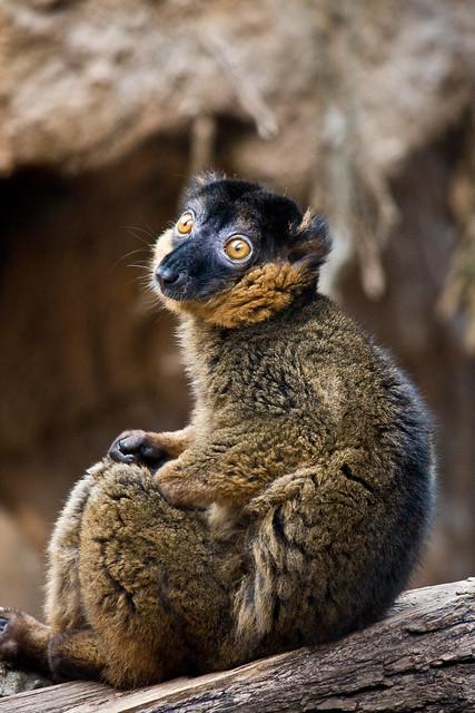 Lemur, Bronx Zoo