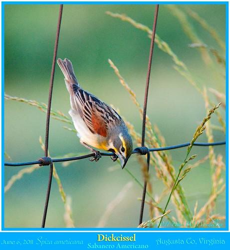 virginia shenandoahvalley dickcissel northamericanbirds spizaamericana spiza cardinalidae virginiabirds augustacounty virginiamountains weyerscave photobypeterwendelken peterwendelken dickcisselmale dickcisselphoto dickcisselinvirginia