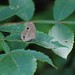 Small photo of Lepidoptera