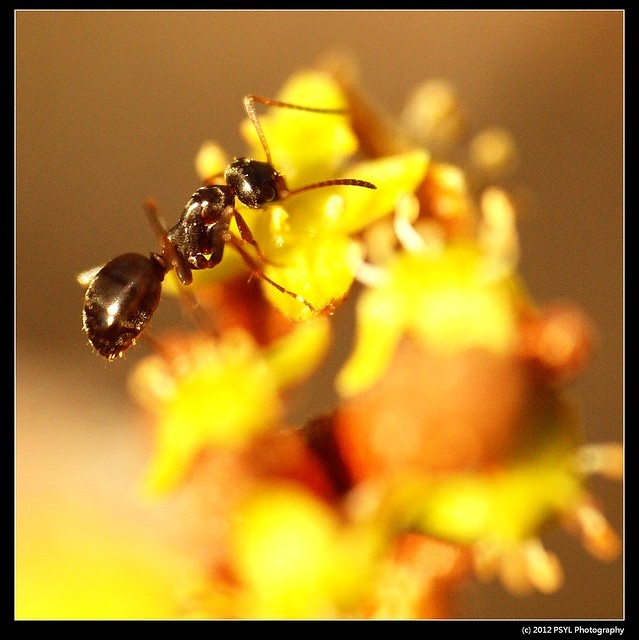 Unknown ant visiting soapberry flower