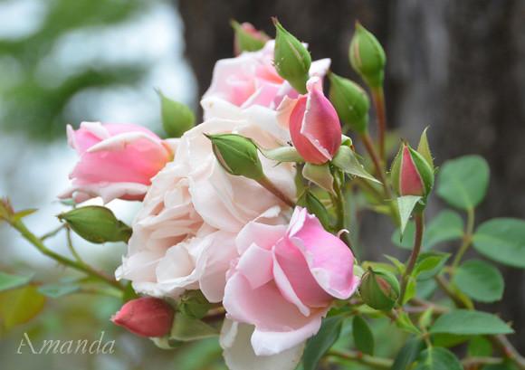 rose_3460